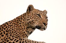 A Leopard Portrait Taken In Botswana.
