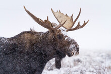 A Bull Moose Stands In A Snow Storm Covered In Snow In Grand Teton National Park, Wyoming.