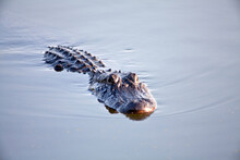 American Alligator In The Water, Brazos Bend State Park, Texas
