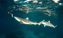Black Tip Reef Sharks Chasing Bait In The Solomon Islands.