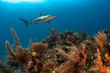 Cuba, Camaguey. Reef Shark Swimming Over A Coral Reef At Jardines De La Reina.