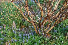 Wildflowers And Burnt Manzanita Following The Rim Fire, Hetch Hetchy, Yosemite NP