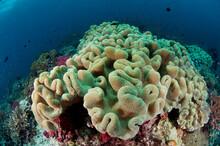 Fiji Reef Scene With Soft Corals.