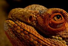 Bearded Red Dragon, Amphibolurus Barbatus