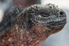 Closeup Portrait Of A Marine Iguana, Galapagos Islands, Ecuador