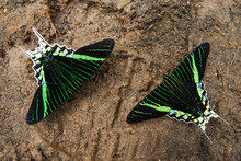 Two Butterflies Feed On Exposed Salt In A Footprint In The Yasuni Bioreserve, Ecuador.