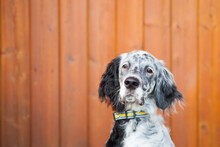 English Setter Puppy Sitting In Front Of An Orange Log Cabin Wall.