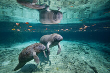 Portrait Of A West Indian Manatee Mother And Baby (cow And Calf), Or Sea Cow (Trichechus Manatus), Crystal River, Three Sisters Spring, Florida.