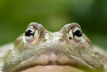 Captive African Bullfrog, Pyxicephalus Adspersus. Range: Eastern And Southern Africa.