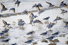Endangered Snowy Plover, Charadrius Alexandrinus, Run On The Shoreline At Ellwood Beach In Goleta California.