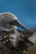 Portrait Of A Blue-Footed Booby In The Galapagos Islands, Ecuador, Preening It's Feathers.