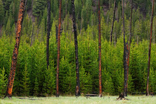 A Group Of Young Trees Grow Between A Stand Of Old Burned Trees From A Fire In Yellowstone National Park, Wyoming.
