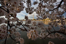 Cherry Blossoms In Full Bloom Decorate The Trees Around The Tidal Basin In Washington DC; The Washington Monument Stands In The Background. Washington, DC