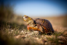 With Just A Little Looking, Visitors Can Find Box Turtles Meandering Along The Trails Of Tallgrass Prairie National Preserve In Kansas.