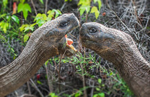 Two Giant Galapagos Tortoises Fighting For Dominance In The Galapagos Islands.