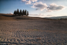 A Tuscan Landmark, The Famous And Much Photographed Copse Of Cypress Between San Quirico D'Orcia And Torrenieri, Tuscany