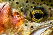 Macro Shot Of A Rainbow Trout Cheek And Eye.