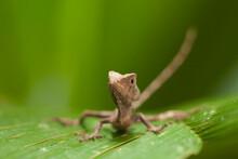 A Lizard Pauses On A Leaf In The Mosquitia, Honduras.