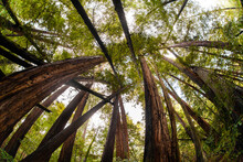 Trees In Mt. Tamalpais State Park, Adjacent To Muir Woods National Monument In California, Famous For Its Old Growth Coastal Redwood Trees.
