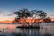 Sunrise On A Red Mangrove In The Pig Keys, Honduras.