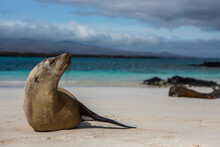 Portrait Of A Sea Lion Relaxing On The White Sands Of The Galapagos Islands, Ecuador.