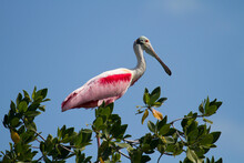 A Roseate Spoonbill Sits Atop A Mangrove Within Everglades National Park, Florida.