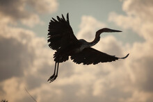 A Darter Flying In The Selous Game Reserve In Southern Tanzania. The Clouds And Pale Blue Sky Create A Strong Silhouette Of The Bird.