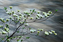 Mountain Dogwood Flowering Over The Merced River, Yosemite, CA