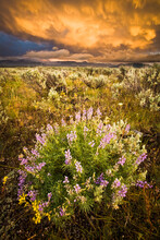 Storm Clouds Glow In Sunset Above Lupine Wildflowers In Antelope Flats In Grand Teton National Park, Wyoming.