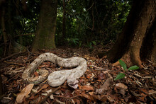 A Pink Boa, Endemic To The Pig Keys, Are Endangered As A Result From The Pet Trade, Honduras.