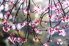 Close Up Of Plum Tree Blossoms In Sonoma County.