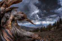 Bristlecone Pine Stump, White Mountains, Inyo National Forest, CA