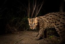 Rip Ear, A Wild Male Fishing Cat (Prion Ailurus Viverrinus), Triggers A Camera Trap Hidden On A Fish Farm In Sam Roi Yod, Thailand.
