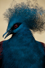 A Captive Blue Crowned Pigeon, Goura Cristata, At The Zoo, California