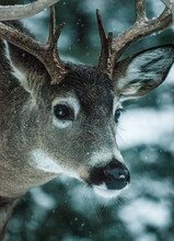 Whitetailed Deer In The Flathead Valley, Montana.