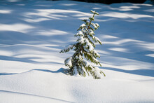 A Lone Pine Tree In The Snow Below Mount Forgotten, Mount Baker-Snoqualmie National Forest, Washington.