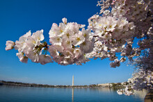Cherry Blossoms Bloom Around The Tidal Basin, With The Washington Monument In The Background. Washington, DC