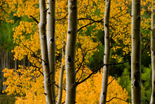 Aspen Trees During Fall In The Rocky Mountains Of Colorado