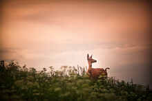 A Deer At Sunset In The Wasatch Range Of The Rocky Mountains In Utah.