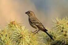 A Female House Finch Searches A Cholla Cactus For Food.