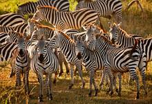 A Group Of Zebra Take Refuge In The Shade In The Masai Mara, Kenya.