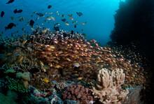 Schools Of Golden Sweepers Surround A Reef In Raja Ampat