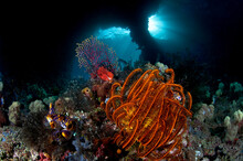 Sea Fans, Corals And Crinoids Grow In Front Of Boo Windows In Raja Ampat