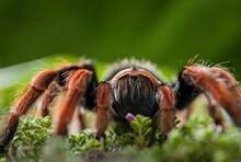 Mexican Fireleg Tarantula, Brachypelma Boehmei, Is A Terrestrial Tarantula Native To The Central Pacific Coast Of Mexico.