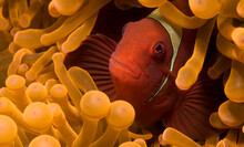 A Spinecheek Anemonefish In A Host Anemoe.