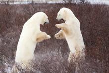 Two Young, Male Polar Bears Spar Near Churchill, Manitoba, Canada.