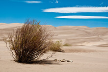 Lone Bush Growing In Great Sand Dunes National Park