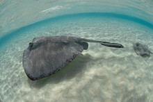 Sting Rays In Stingray City In Grand Cayman.