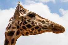 Looking Up At The Face Of A Giraffe.