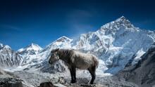 A Pony, Often Used For Carrying Goods Basks In The Sun In Gorekshep, Nepal.
